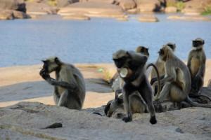 singe-chapardeur