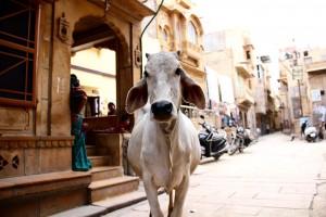 vache-drole
