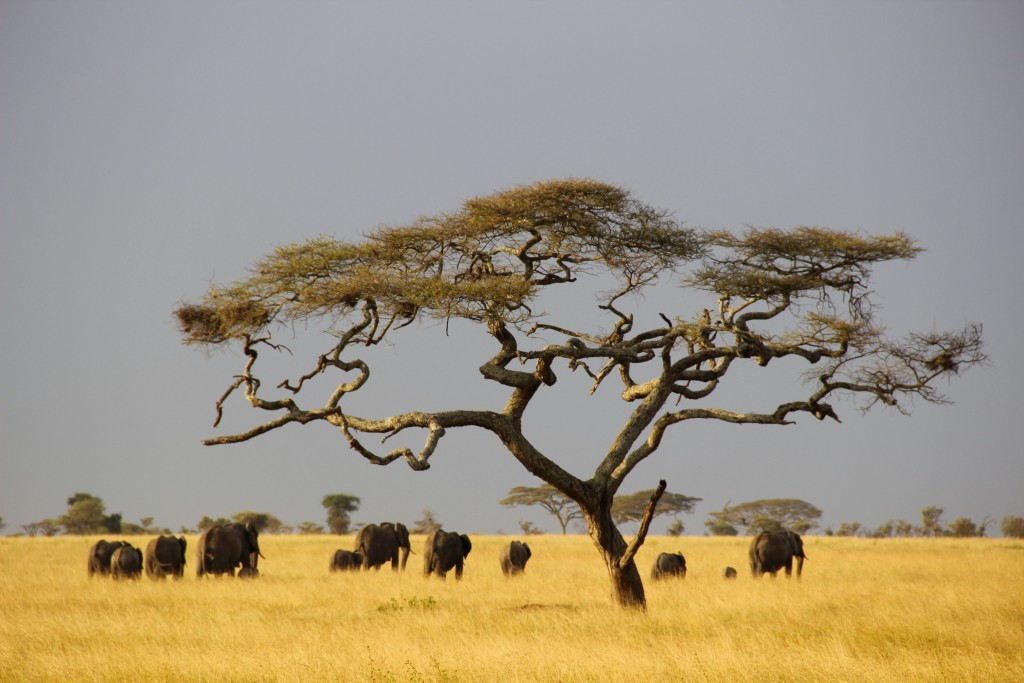 elephants-savane-afrique