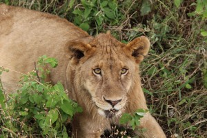 lion-savane-aurique