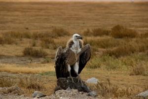 vautour-savane