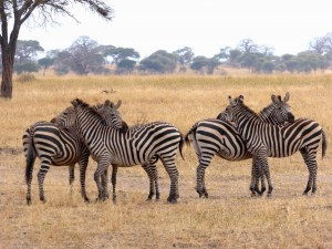 câlin-animaux-zebres