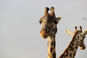 girafe-savane-aurique