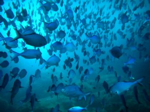 mamao-blue-fish