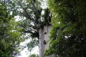 kauri-tree-waipoua-4