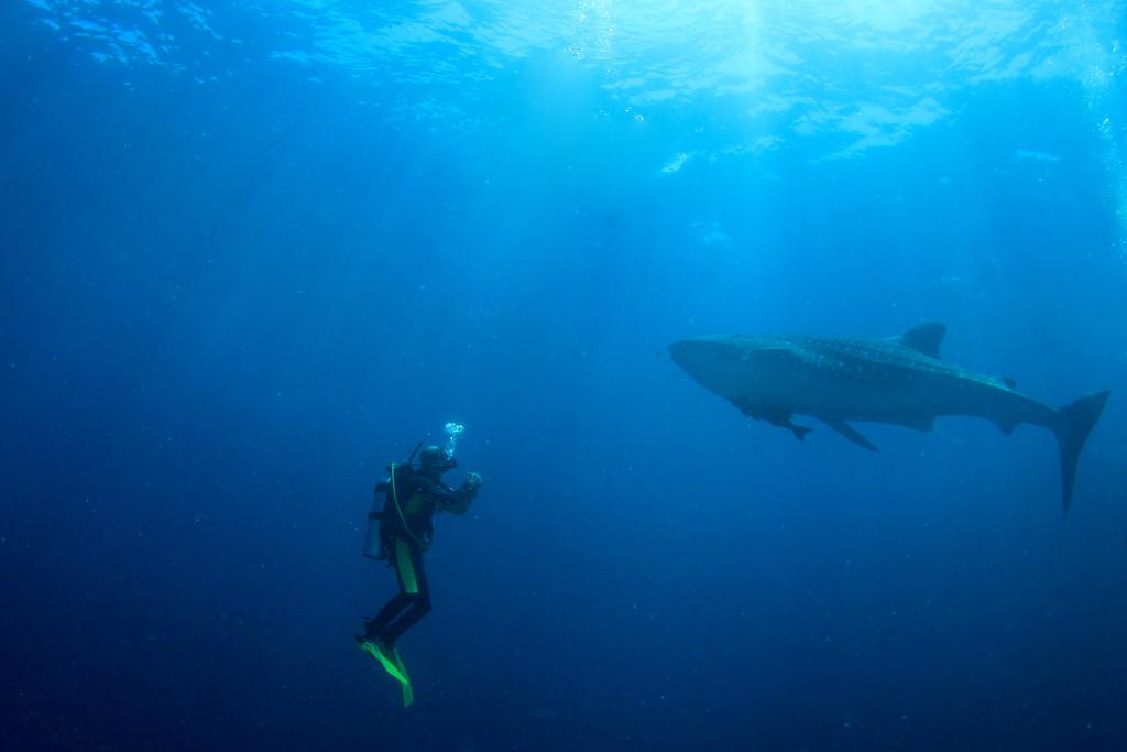 requin-baleine-plongee-koh-tao