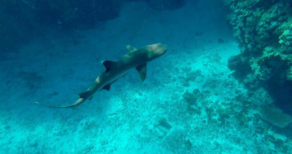 nage-requin-iles-fidji